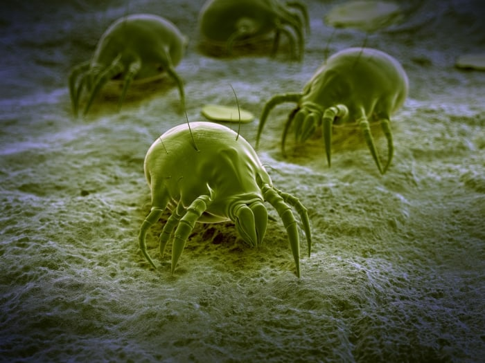 what eats dust mites